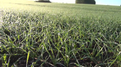Panorama crop cereal wheat covered with melt morning hoarfrost Stock Footage