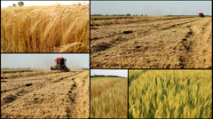 Wheat ,barley ,grain..harvest .agriculture field multi screen Stock Footage