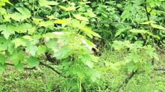Siamese cat walking in garden Stock Footage