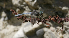 Dragon-fly Stock Footage