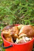 Stock Photo of mushrooms lying picked in red plastic bucket