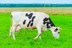 cow on a leash eats juicy grass - stock photo