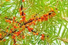 ripe sea-buckthorn berries on branch - stock photo