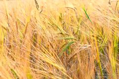 green ears of wheat in the yellow field of russian - stock photo