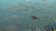 Stock Video Footage of Alligator head above water