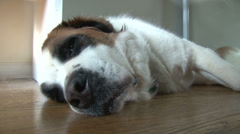 Tired dog sleeping on wood floors Stock Footage