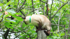 Siamese cat standing at wood stancil in garden - stock footage