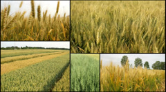 Oats,wheat ,barley ,grain..harvest .agriculture field multi screen Stock Footage