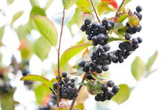 Cluster of aronia ripe fruits sag Stock Photos