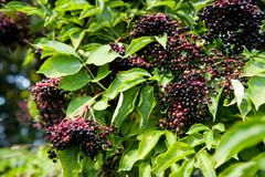 Elderberry fruits fresh clusters on plant - stock photo