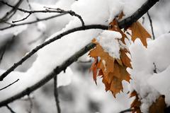 Autumn to winter, autumn leaves in a snowed tree Stock Photos