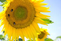 bumblebees taking nectar on yellow sunflower - stock photo