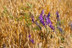 Avena or oats and Vicia grow in field Stock Photos
