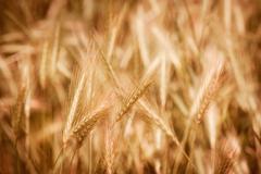 Golden kypsä vilja korvat kasvaa pellolla Kuvituskuvat