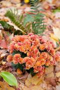 Autumn Dendranthema or Chrysanthemum flowers - stock photo