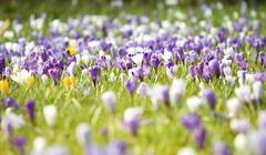 Stock Photo of spring field with crocus flowers