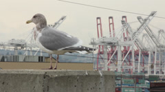 Seagull at Port of Seattle 2 Stock Footage