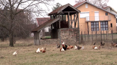 Village raised chickens Stock Footage