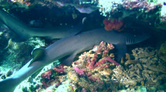 Whitetip reef shark (Triaenodon obesus) laying under coral - stock footage