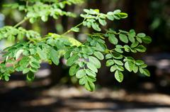 branches and leaves of moringa tree - stock photo
