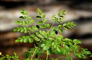 Stock Photo of young moringa tree in sunshine