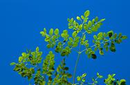 Stock Photo of young moringa tree against blue sky