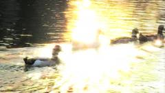 Ducks in the lake Stock Footage