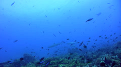 Whitetip reef shark (Triaenodon obesus) swimming over coral reef - stock footage