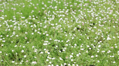 Daisy flowers in a field - right pan Stock Footage