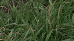 Wheat close up Stock Footage