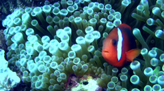Tomato or Bridled anemonefish (Amphiprion frenatus) in bubble anemone Stock Footage
