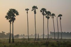 Sugar palm trees Stock Photos