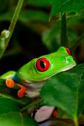 Red eyed tree frog closeup Stock Photos
