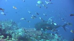 Giant trevally (Caranx ignobilis) hovering over coral reef - stock footage