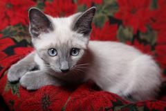 Sweet and innocent, lilac point siamese kitten on red poinsettia tapestry chair. Stock Photos