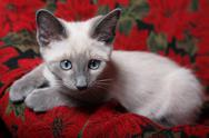 Stock Photo of sweet and innocent, lilac point siamese kitten on red poinsettia tapestry chair.