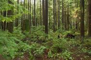 Stock Photo of Pacific Northwest, Second Growth Forest