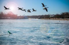 Canadian Geese Over Frozen River Stock Photos