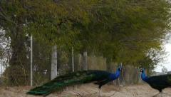 Two Male Peacocks circling each other - Clip 1 Stock Footage