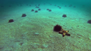 Stock Video Footage of 72 Dangerous sea urchins run seabed, timelapse