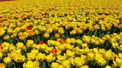 Field of tulips near Keukenhof. Stock Footage
