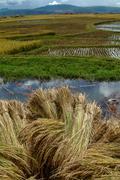 Rice crop Stock Photos