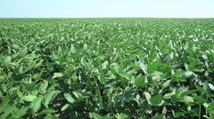 Soy field - plants moving at wind - multiple frames - stock footage