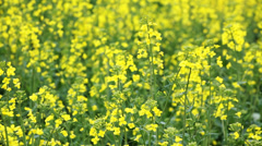 Oilseed rape flowers Stock Footage