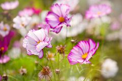 zoomed pink Cosmea ornamental plant growing - stock photo