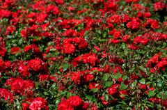 Red roses bunches grow in park Stock Photos