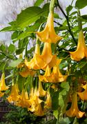 Yellow Brugmansia or Angels Trumpets or Datura Stock Photos