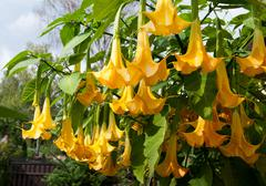 Brugmansia named Angels Trumpets or Datura Stock Photos