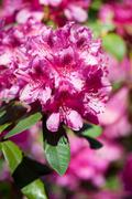 Rhododendron or Azalea bright pink flowers - stock photo