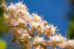 Macro of blooming Aesculus on blue sky - stock photo